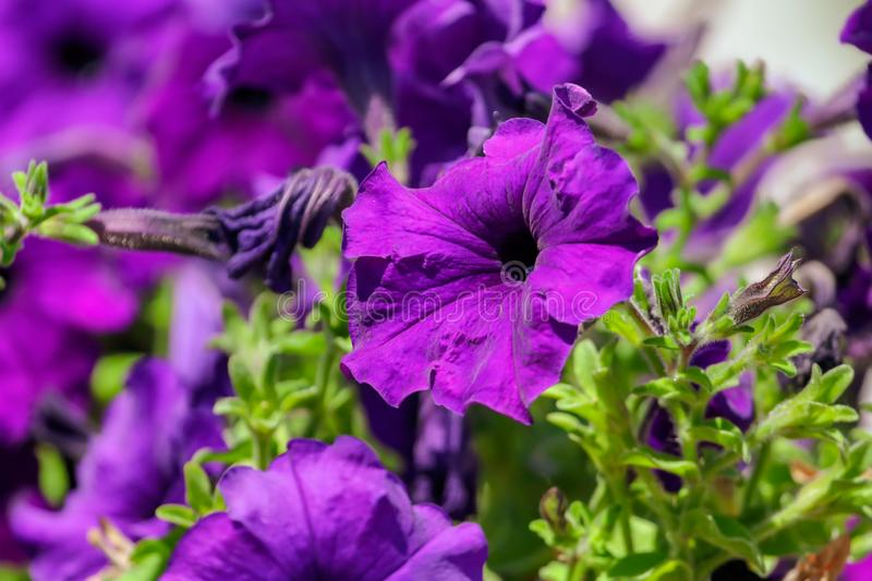 Beautiful blue flowers on nature as background royalty free stock images