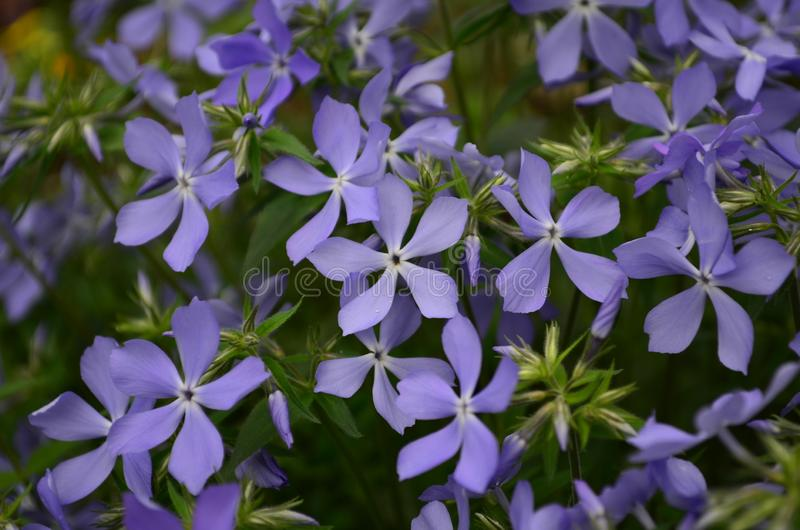 Beautiful blue flowers phlox splayed in the garden. Close up stock photography