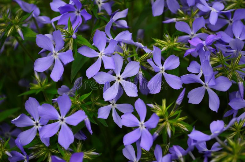 Beautiful blue flowers phlox splayed in the garden. Close up royalty free stock photos