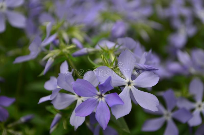 Beautiful blue flowers phlox splayed in the garden. Close up royalty free stock image