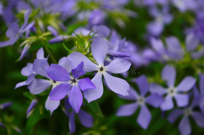 Beautiful blue flowers phlox splayed in the garden. Close up royalty free stock photography