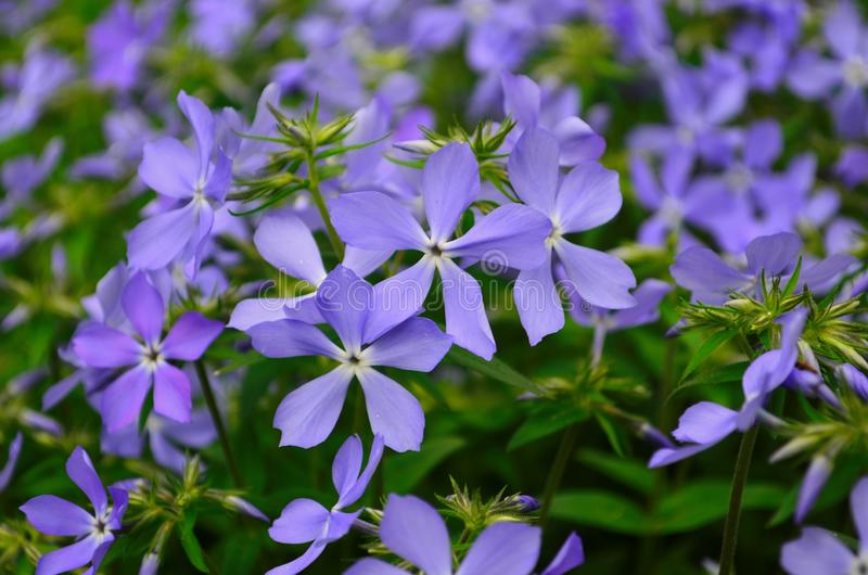 Beautiful blue flowers phlox splayed in the garden. Close up stock image