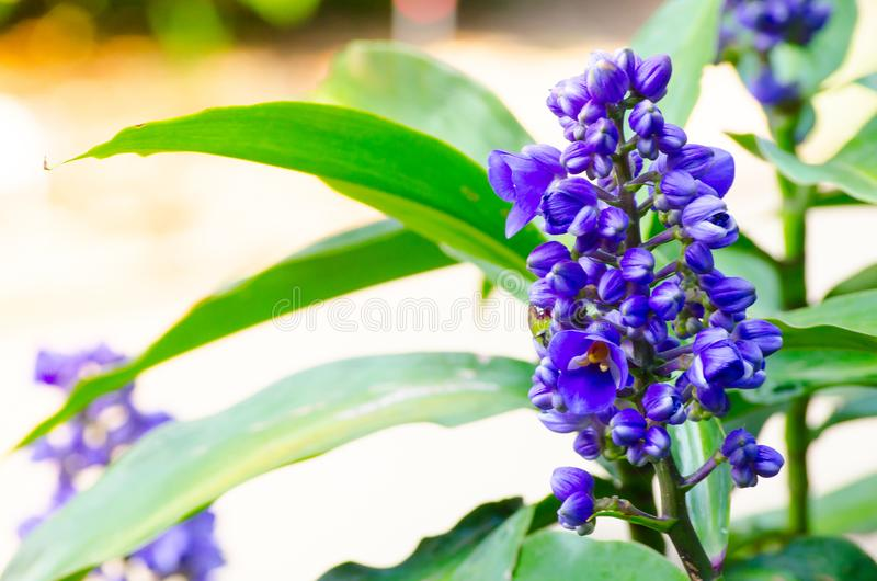Blue ginger flower in a spring season at a botanical garden. A Beautiful Blue ginger flower is a species of tropical flowering plant which resembles ginger in stock photography