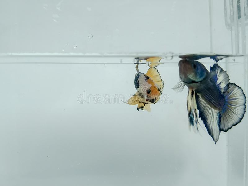 Beautiful blue halfmoon and golden yellow betta fish with fluffy fins isolated. royalty free stock photo