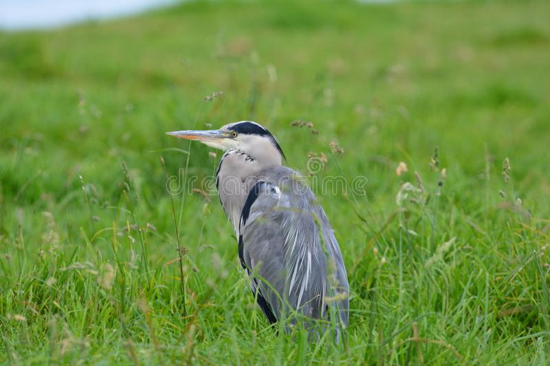 Blue Heron. Beautiful blue Heron in the Netherlands royalty free stock photo
