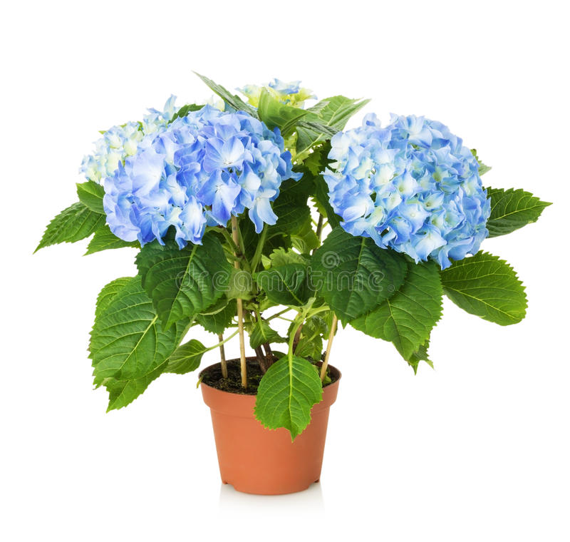 Beautiful Blue Hydrangea Flower In Pot Stock Photo - Image of plant ...