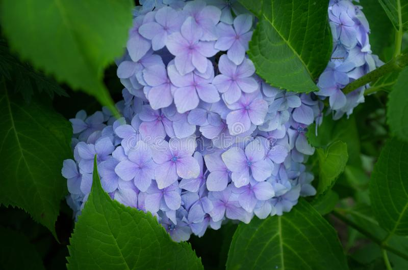 Beautiful blue hydrangea or hortensia flower close up. royalty free stock image