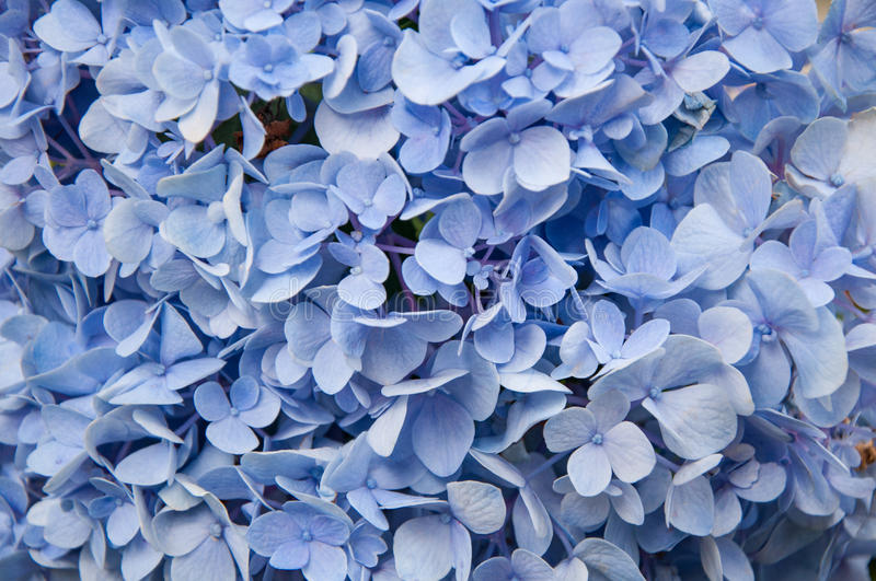 Download Beautiful Blue Hydrangeas Flower Background Natural Color Stock Photo