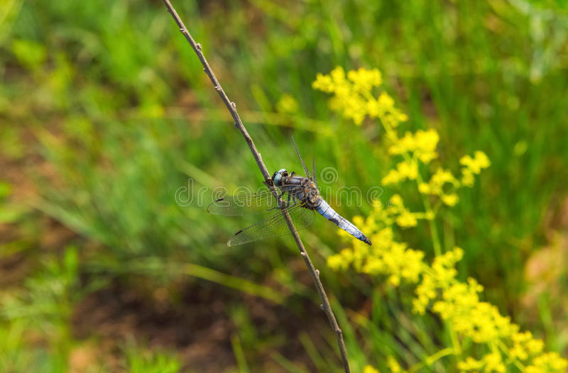 Beautiful, blue, large individual dragonfly sitting on a twig in nature. royalty free stock photography