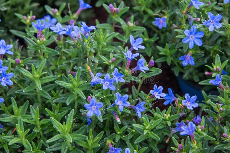 A beautiful blue Lithodora in a green soil background. stock photo
