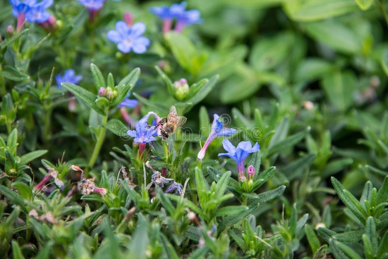 A beautiful blue Lithodora in a green soil background. stock photography