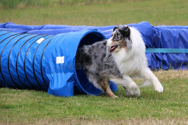 Australian shepherd is making agility. Beautiful blue merle australian shepherd is running out of the tunnel in the agility parcour stock photography
