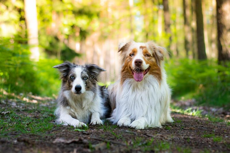 Beautiful blue merle border collie dog and red merle australian shepherd lying on the road in thé forest in sunny day. Beautiful blue merle border collie dog royalty free stock images