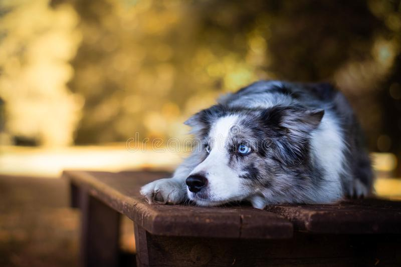 Beautiful blue merle border collie lying on the bench in the park. stock photos