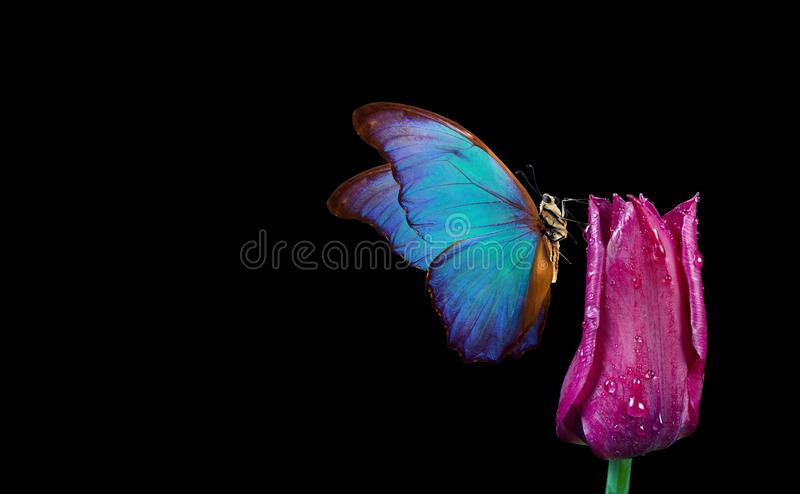 Beautiful blue morpho butterfly on a flower on a black background.Tulip flower in dew drops isolated on black. Tulip bud and butte stock photo