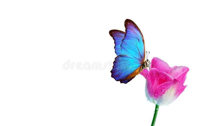 Beautiful blue morpho butterfly on a flower on a white background.Tulips flowers in dew drops isolated on white. Tulip buds. copy stock image