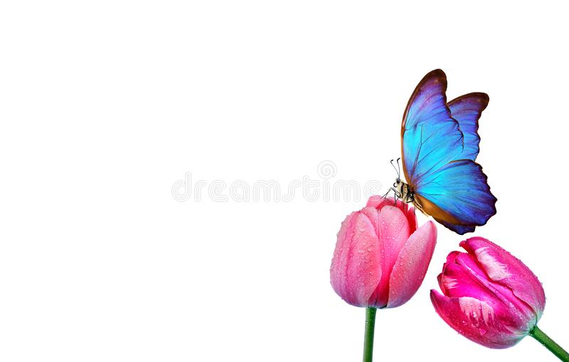 Beautiful blue morpho butterfly on a flower on a white background.Tulips flowers in dew drops isolated on white. Tulip buds. copy royalty free stock photography