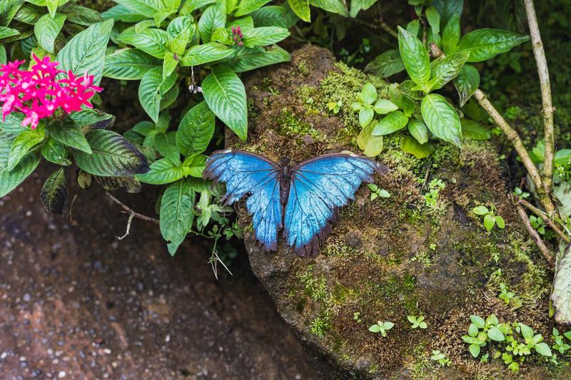 A beautiful blue morpho butterfly sits on a leaf stock photos