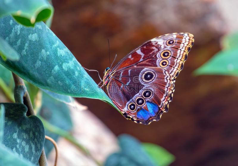 Beautiful blue morpho butterfly sitting on a leaf, underside exp. Osed. Closeup with vibrant colour royalty free stock image