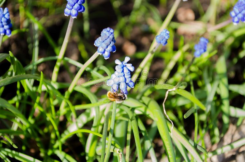 Beautiful blue muscari flowers. Blue flowers. Green grass. Perennial. Herb plant. Spring plant. Spring flowers. Background. A piece of nature. Bloomed flowers stock photos