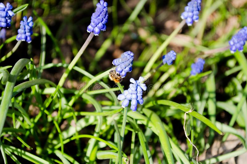 Beautiful blue muscari flowers. Blue flowers. Green grass. Perennial. Herb plant. Spring plant. stock photography