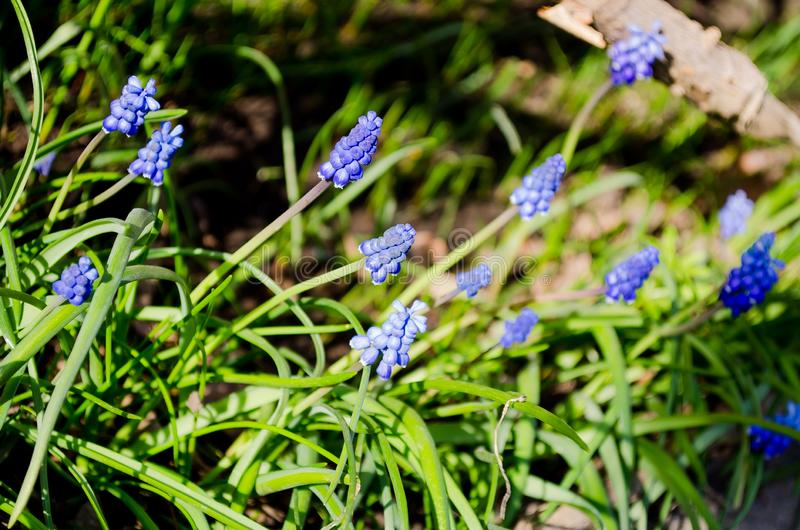 Beautiful blue muscari flowers. Blue flowers. Green grass. Perennial. Herb plant. Spring plant. Spring flowers. Background. A piece of nature. Bloomed flowers royalty free stock image