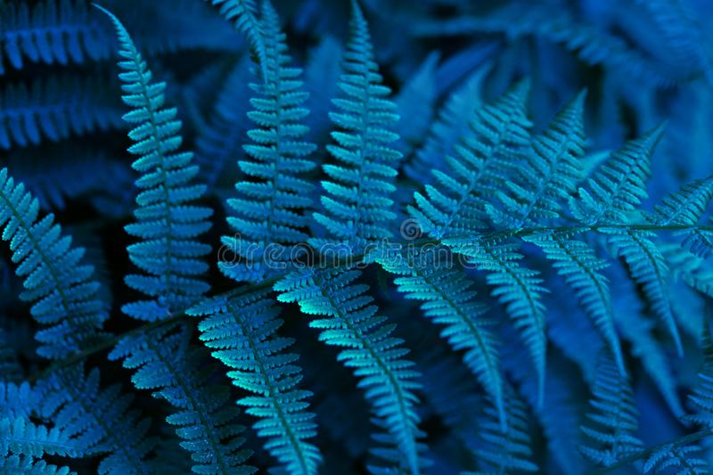 Beautiful blue neon fern close up. Floral texture and background, pattern. Glowing blue foliage of the fern. Creative stock image