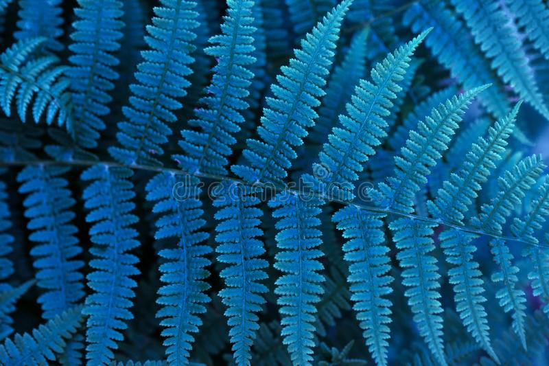 Beautiful blue neon fern closeup. Floral texture and background, pattern. Glowing blue foliage of the fern. Textured leaves. Beautiful blue neon fern close up royalty free stock image
