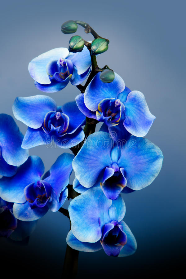 Beautiful blue orchid flowers in garden stock images