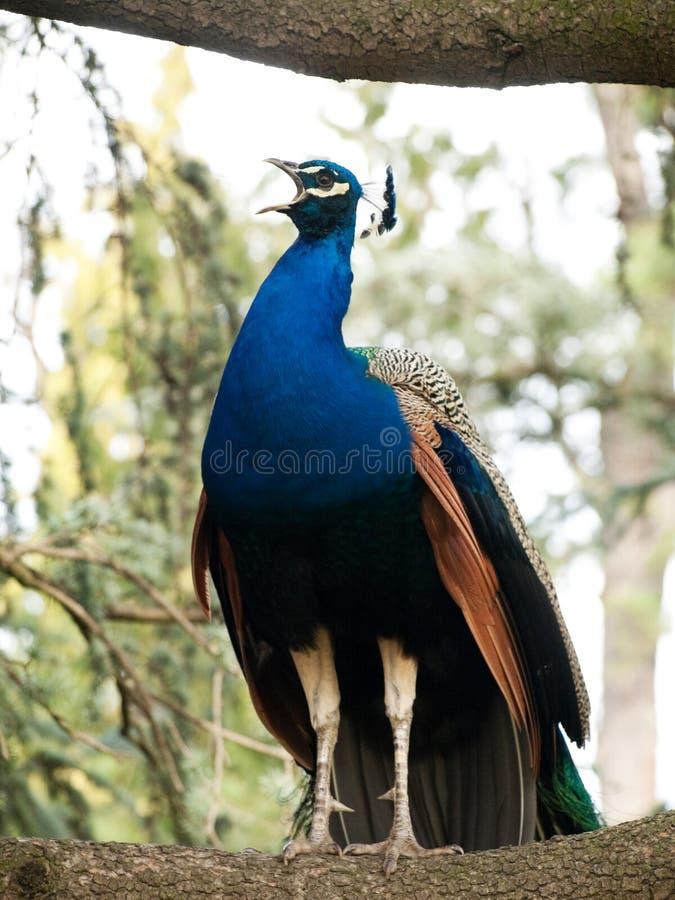 Beautiful Blue Peacock Royalty Free Stock Photo
