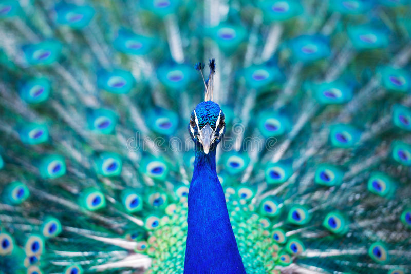 Beautiful blue peacock in a public park in Madrid stock photo