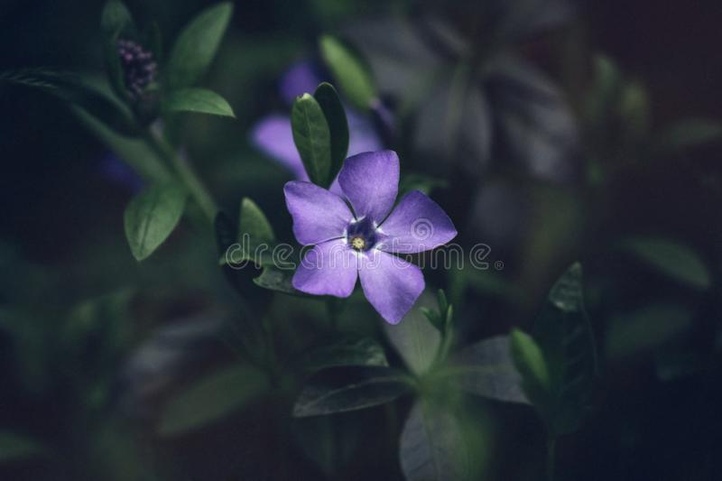 Beautiful blue periwinkle Vinca minor flower with bright purple petals close up on dark green background. Evergreen medicinal. Beautiful blue periwinkle Vinca royalty free stock images