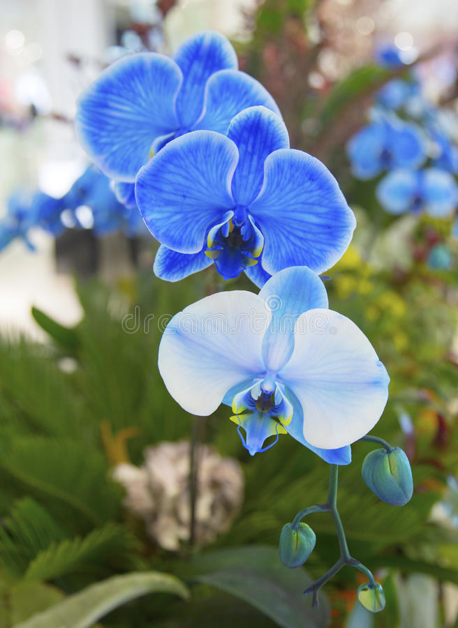 Download Beautiful Blue Phalaenopsis Orchid Stock Image - Image of blue, color: 39511801