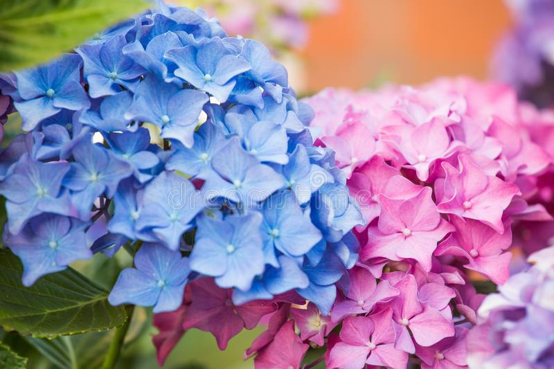 Blue and pink hydrangea flower stock photography
