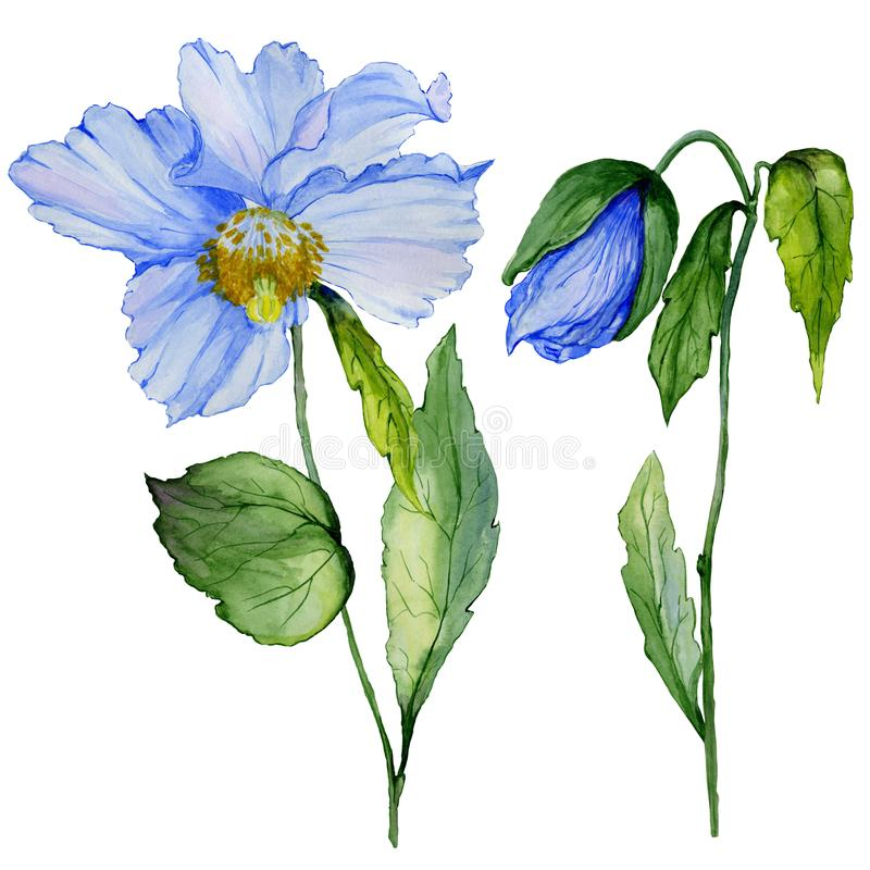 Beautiful blue poppy flower with green leaves. Set - large meconopsis flower and stem with a bud isolated on white background. Detailed and realistic vector illustration