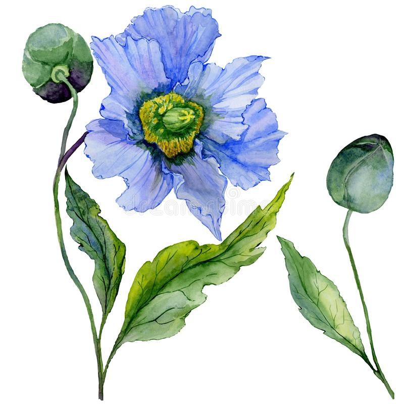Beautiful blue poppy flower with green leaves. Set - large meconopsis flower and stem with a bud isolated on white background. Detailed and realistic stock illustration