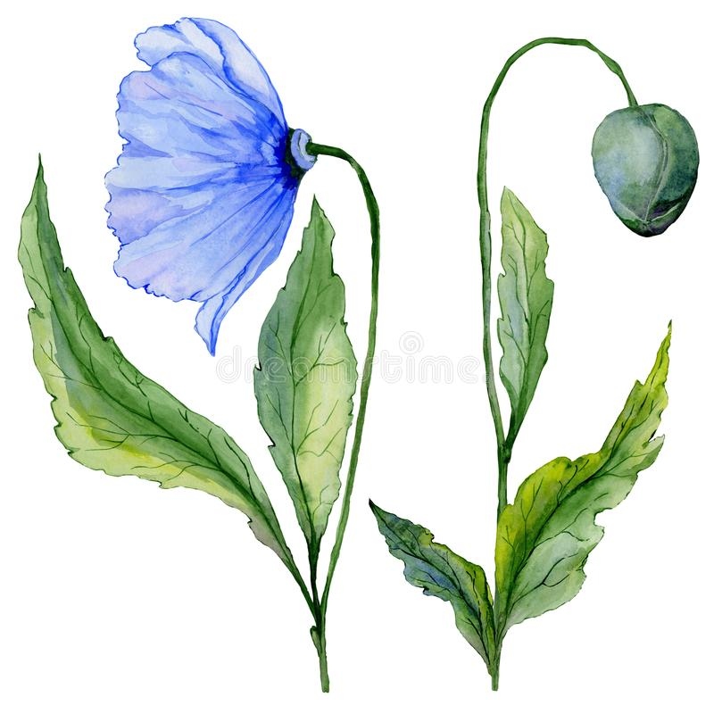 Beautiful blue poppy flower. Set - large meconopsis flower and stem with a bud isolated on white background. Side view. Watercolor painting. Hand painted stock illustration