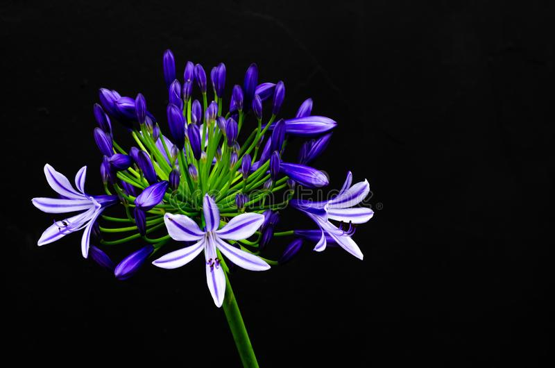 Beautiful blue and purple color African Lily Cape blue lily blooming on dark background with space for text.  stock photography