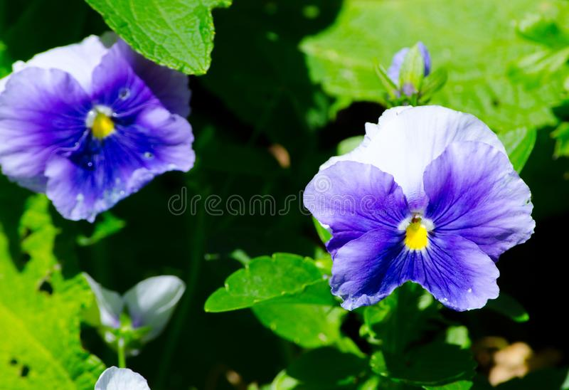 Beautiful blue-purple pansy flowers in a spring season at a botanical garden. royalty free stock photos