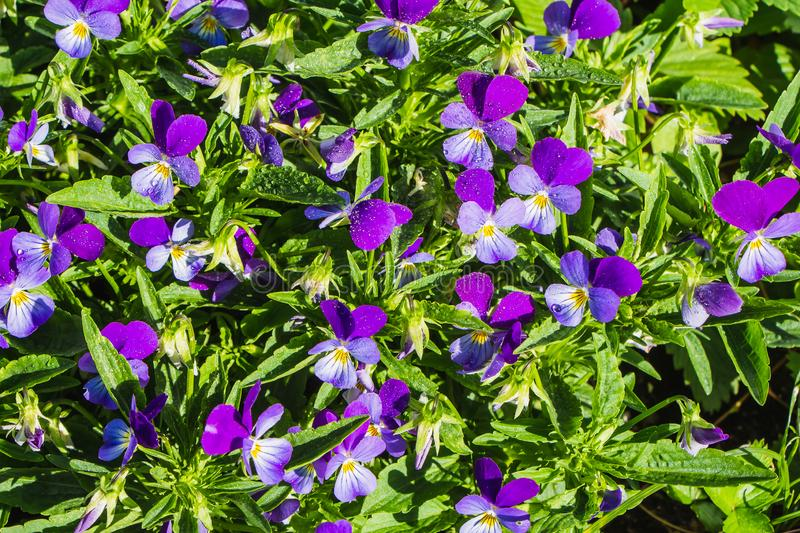 Beautiful of blue and purple violet wildflowers with water drops and green leaves on a flower bed after rain in summer garden stock photo