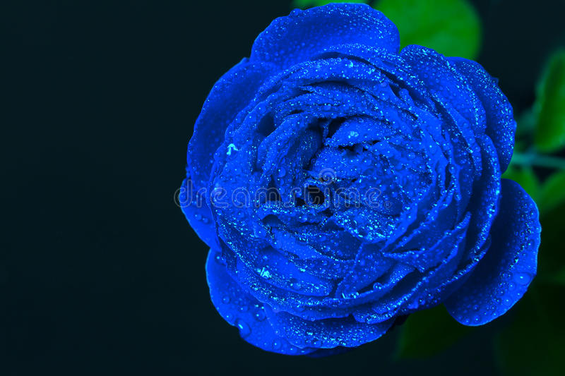 Beautiful Blue Rose With Dew Drops