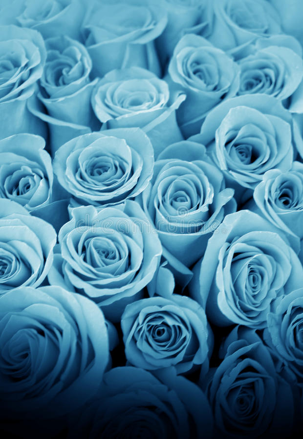 Beautiful blue roses royalty free stock images