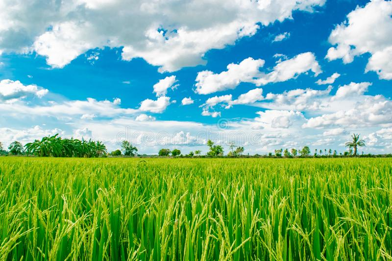 Beautiful blue sky and white cloudy background over rice fields in countryside landscape of Thailand,look fresh and greenery stock photos