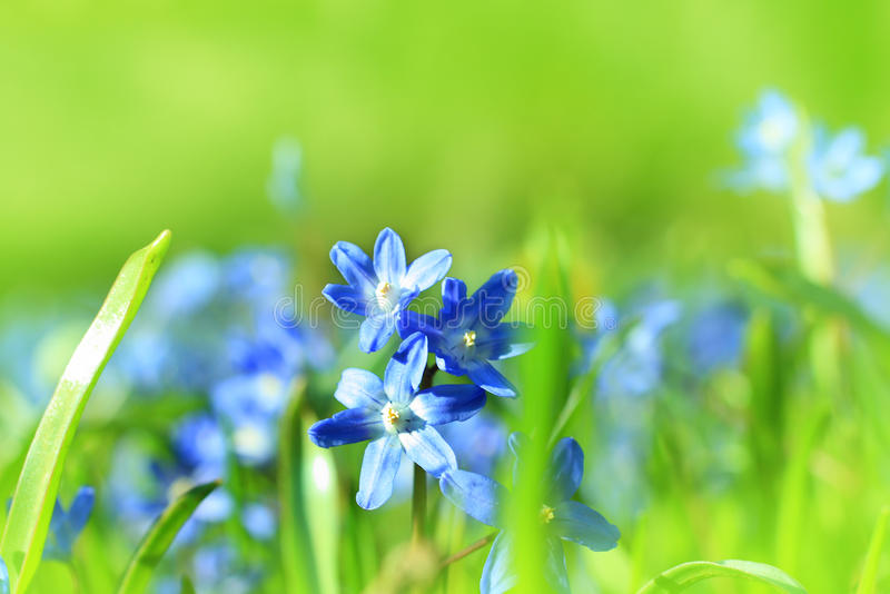 Beautiful, blue, spring scilla flowers. Beautiful, blue, spring flowers meadow stock images