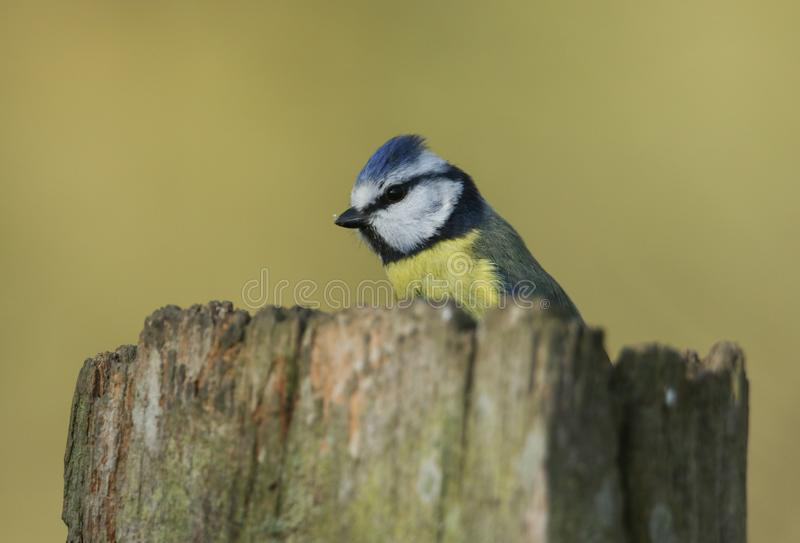 A beautiful Blue Tit, Cyanistes caeruleus, perching on a tree stump in woodland. stock images