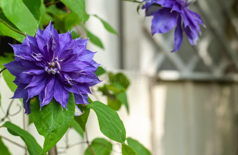 2 beautiful blue-violet blooming clematis flowers on blurred white wooden  alcove background royalty free stock photography