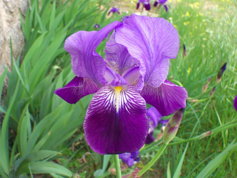 Beautiful blue-violet Iris flowers in a green field, royalty free stock photography