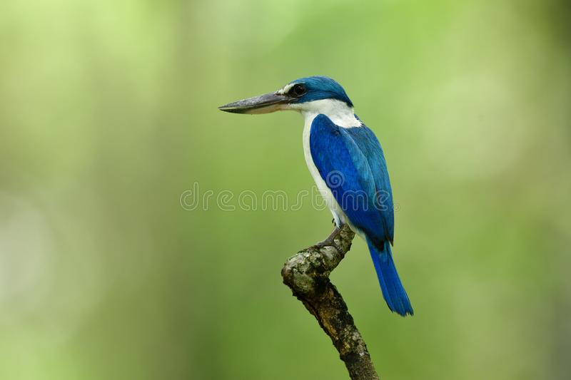 Beautiful blue and white bird with large beaks perching on wood. Stick over bright green background, Collared kingfisher (Todiramphus chloris, amazing stock images