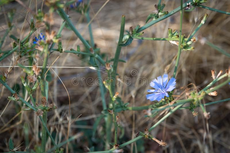 Beautiful blue wild chicory for use in backgrounds stock photo