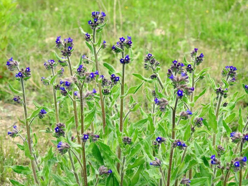 Beautiful blue wild flowers in meadow, Lithuania royalty free stock photo